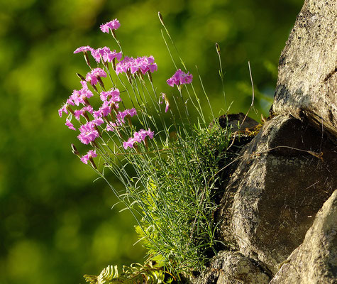 Pfingstnelken am Bloßenberg im Nationalpark (Foto: Manfred Delpho)