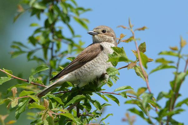 Neuntöter Weibchen – schlichter gefärbt mit gesperberter Unterseite