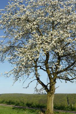 Blühender Kirschbaum am Sengelsberg bei Böhne