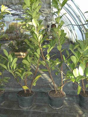 Laurier palme prêt à planter