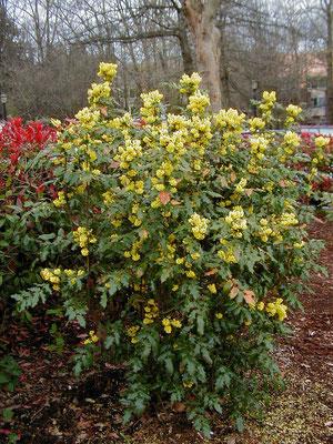 Mahonia Persistant