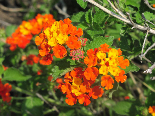 Lantana Arbuste, Plante à massif