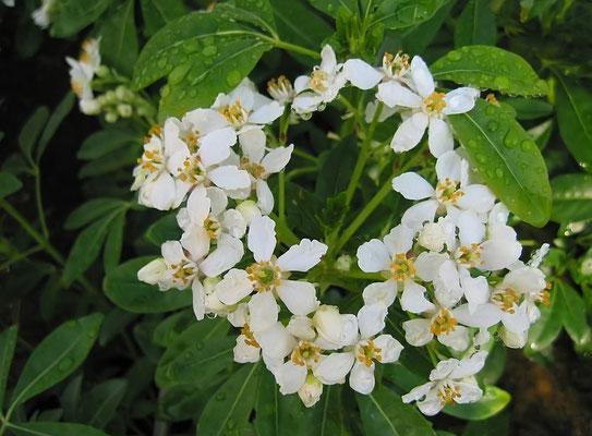 Choisya ternata floraison