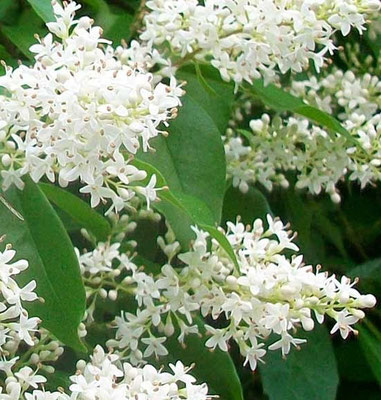 Détail floraison