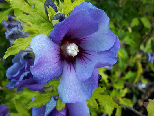 Hisbiscus de syracuse oiseau bleu
