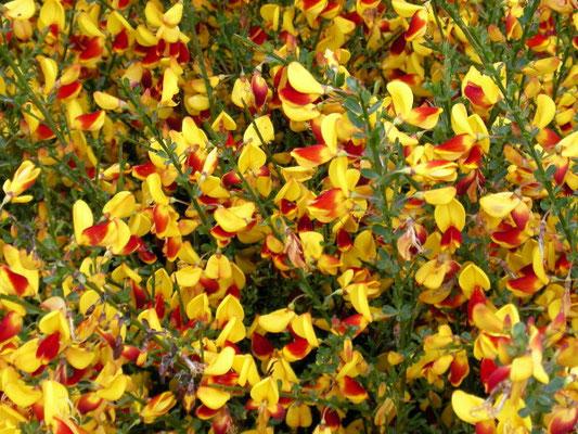 Cytisus andreanus