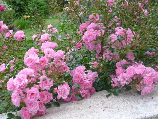 Rosier fairy rose dispo en rouge et blanc, bordure ou isolé