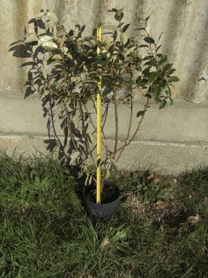 Eleagnus ebbingei prêt à planter