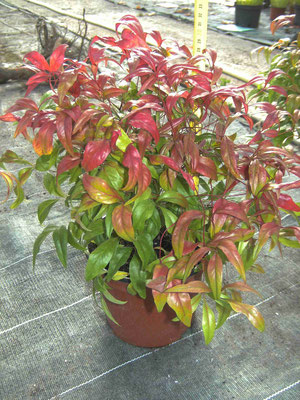 Nandina fire power (Automne)