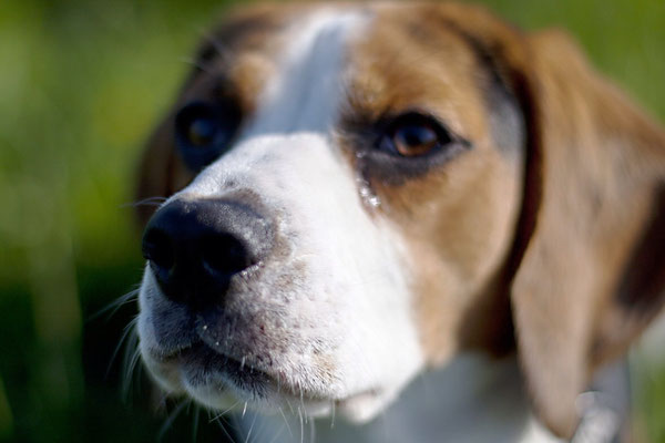 Beagle III