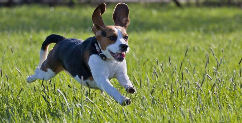 Beagle IV