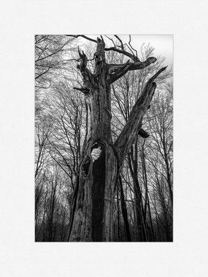 Urwald Sababurg, 2015 [No.2] – © Oliver G. Miller