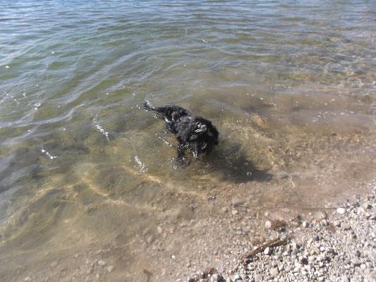Tibet-Terrier-Welpe Jacky aus Puchheim (beim allerersten Schwimmversuch)