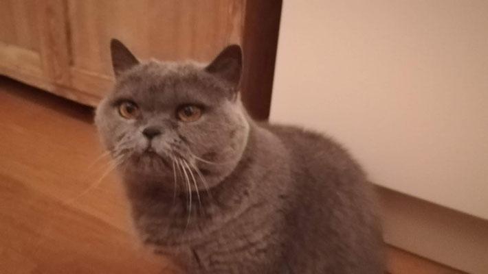 Britisch Kurzhaar Katze Mina