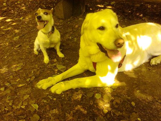 Labrador Julia aus Germering