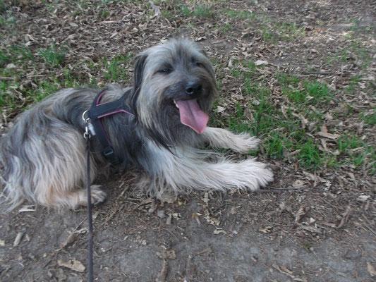 Pyrenäen Schäferhund Blanket aus Gröbenzell