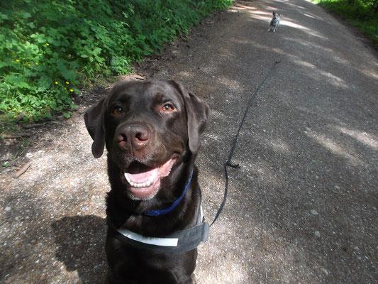 Labrador Jack