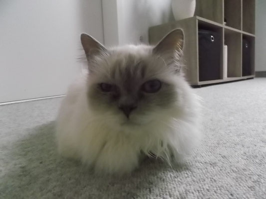 Birma-Katze Mia