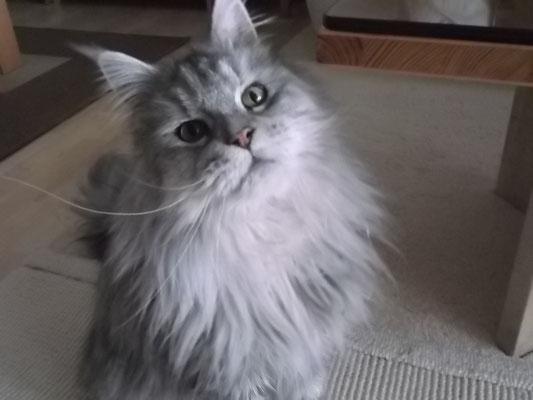 Maine Coon Katze Finchen