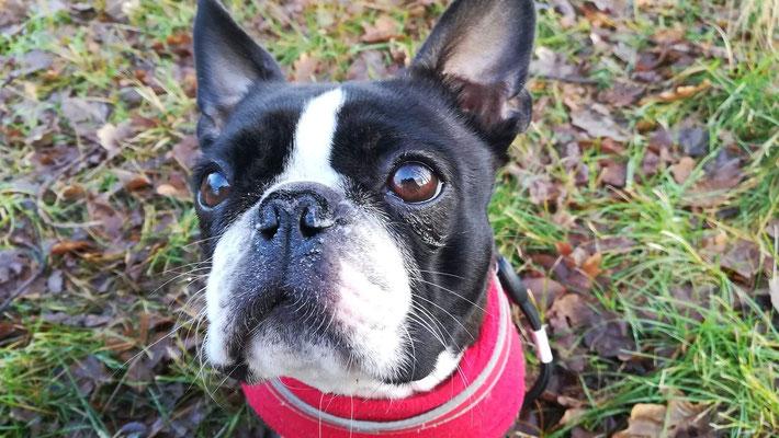 Boston Terrier Paula