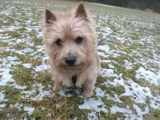 Norwich Terrier Murphy