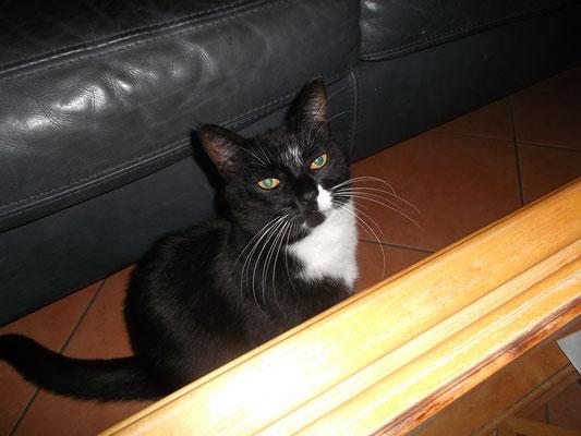 Katze Amani