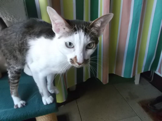Orientalisch Kurzhaar Katze Zilly aus Germering