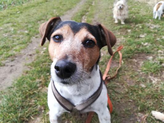 Jack Russell Terrier Sammy aus Olching