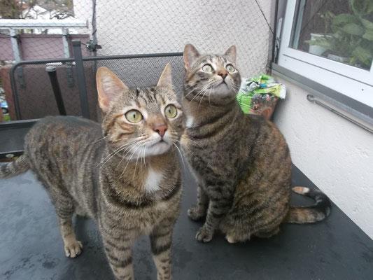 Katzen Huaberin und Mila