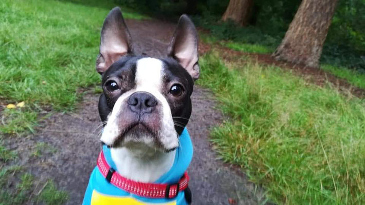 Boston Terrier Majki