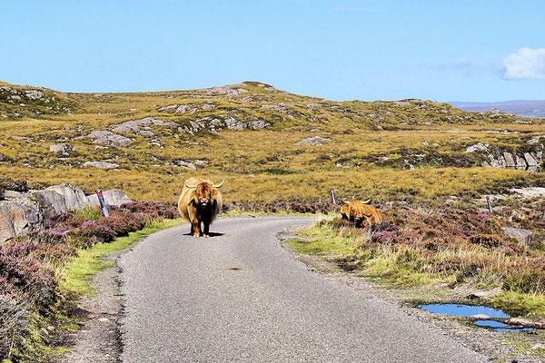 Küstenstraße C1091 - Highland Rind stoisch mitten auf der Single Track Road