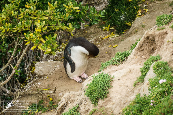 Yellow eyed penguin cleaning itself