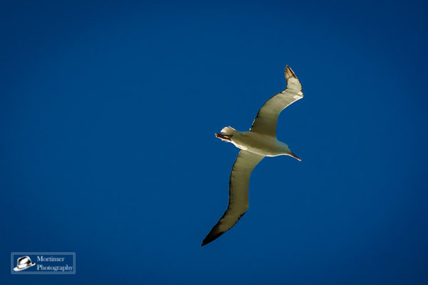 a flying royal albatross