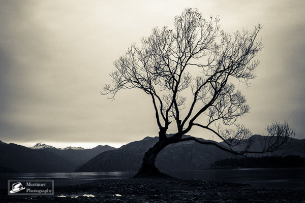 The tree in Wanaka before the mountains and the lake black and white