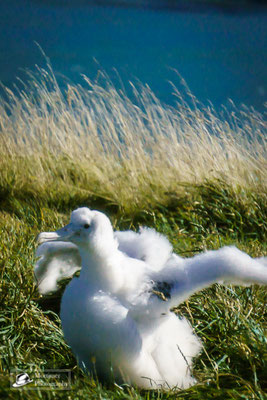 royal albatross chick in the sun