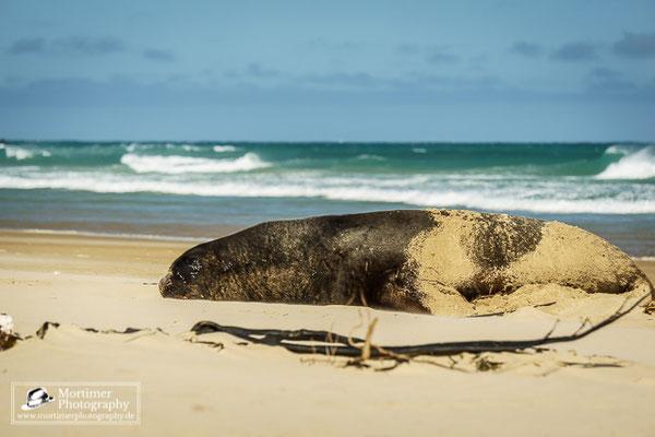 Neuseeländischer Seelöwe schläft am Strand im Hintergrund der Ozean