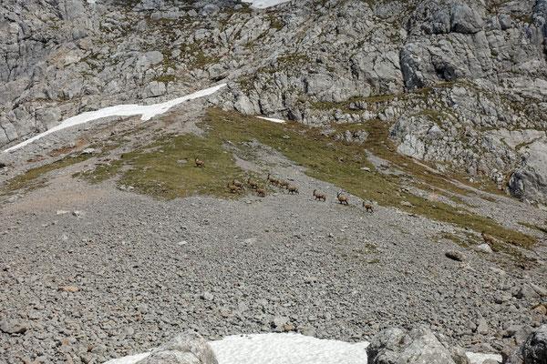 eine Herde Steinböcke