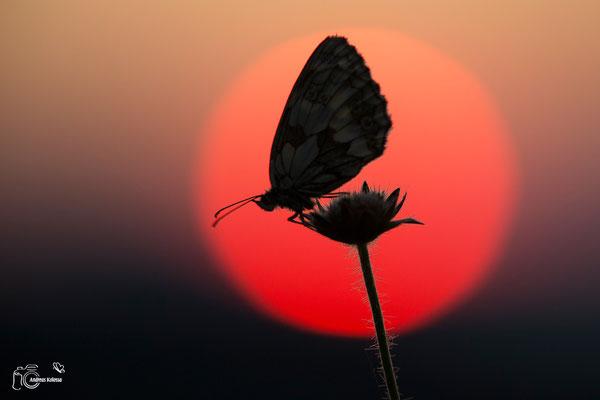 Schachbrettfalter im Sonnenaufgang