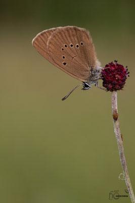 Dunkler Wiesenknopf Ameisenbläuling (nausithous)