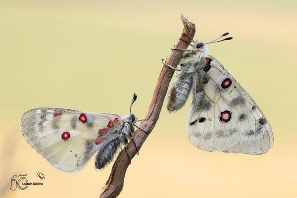 Roter (Parnassius apollo) -und Hochgebirgs-Apollo (Parnassius phoebus)