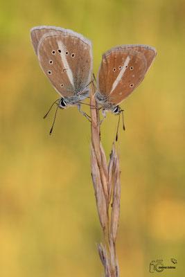 Streifenbläuling (damon)
