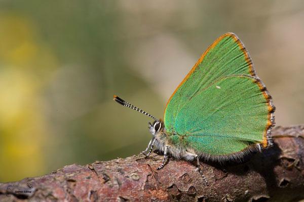 Grüner-Zipfelfalter