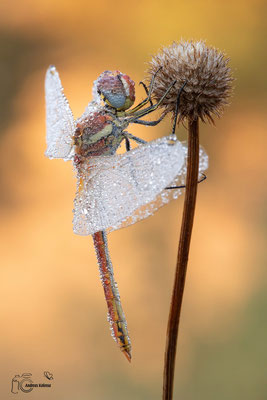 Heidelibelle (Sympetrum)