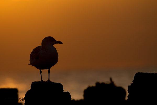 Möve im Sonnenuntergang
