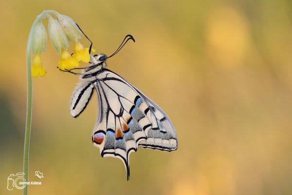 Schwalbenschwanz mit geschlossenen Flügeln