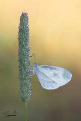 Schmalflügel-Weißling
