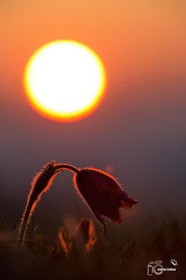 Küchenschelle im Sonnenaufgang