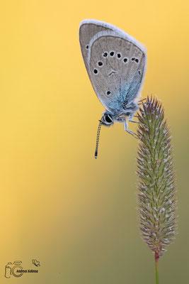 Rotklee Bläuling (Polyommatus semiargus)