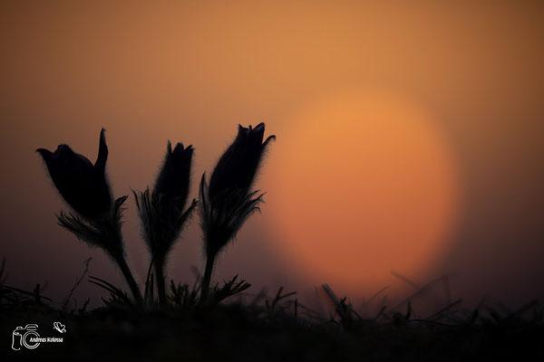 Kuhschellen im Sonnenaufgang