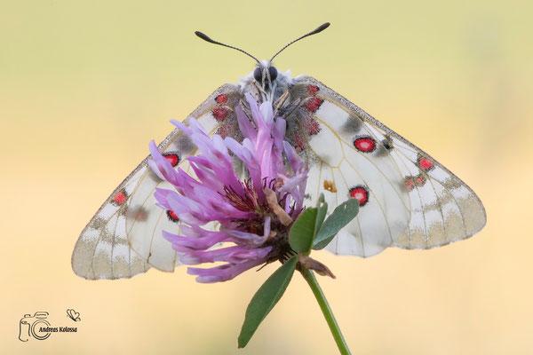 Hochgebirgs-Apollo (Parnassius phoebus)